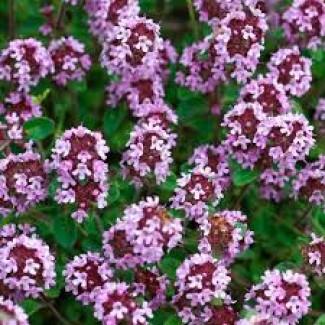 Трава чабрец, тимьян (измельчённый 5-10 мм) 50 грамм