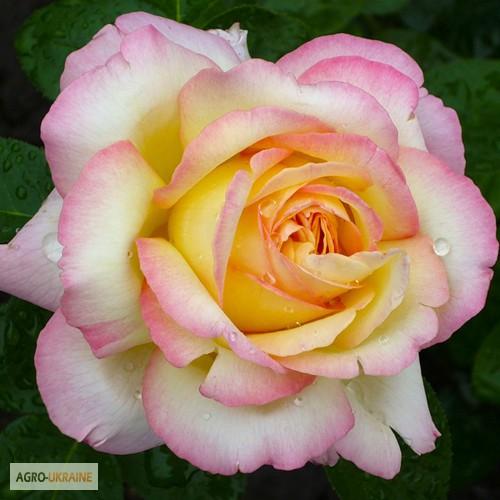 Розы фото с каплями росы