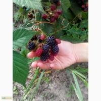 Саженцы Ежевика Торнфри (Tornfree Blackberry)