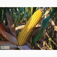 Продам семена кукурузы (гибриды)