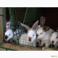 Кролики Бургундской, Калифорнийской, Полтавское Серебро