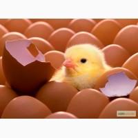 Продаем оптом инкубационное яйцо бройлера КОББ-500 Польша