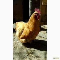 Продам инкубационное яйцо домашних кур