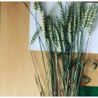 Новелл (Novell), Джерси (JERSEY), семена канадской высокоурожайной пшеницы