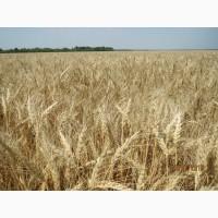 Семена озимой пшеницы Чорнява, урожай 2017 года от компании Дер Трей