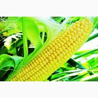 Насіння гібриду кукурудзи Яніс