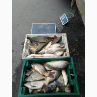Продам живую рыбу карп