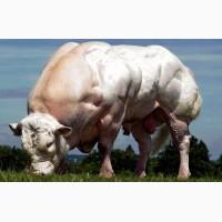 Молоко сухое натур. для телят и поросят. С высоким содержанием белка для роста. Престартер