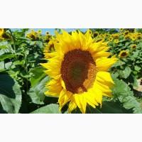 Насіння соняшнику під євро-лайтнінг/ високоурожайні гібриди