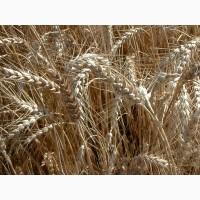 Житница Одесская- устойчивая к болезням сильная озимая пшеница