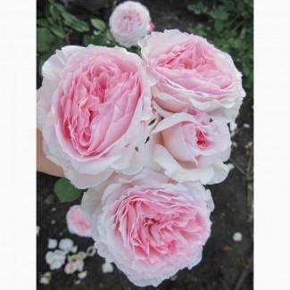 Продам саженцы роз