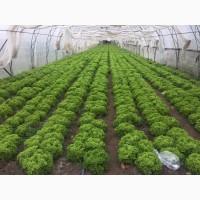 Продам свежий салат Лолло бионда