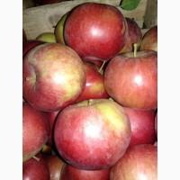 Продам яблука айдаред, семеринка