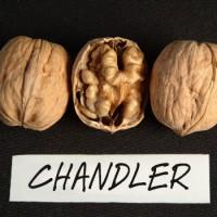 Привитіе саженці грецкого ореха Чендлер. Еталон среди орехов в мире