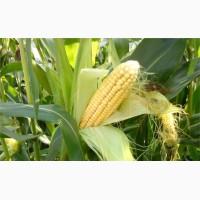 Куплю кукурузу, куплю отходы кукурузы