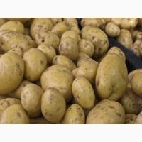 Куплю молодую картошку
