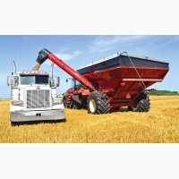 Купляємо пшеницю з поля САМОВИВІЗ