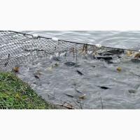 Продам живую рыбу Карась Невод