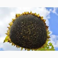 Насіння соняшнику Жалон Гранд