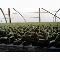 Выращиваем рассаду Капусты и других овощей в кассетах под заказ