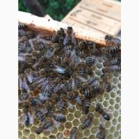 Плідні пчеломатки (бджоломатки) Карпатка Вучковского типа