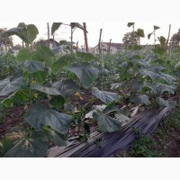 Продам огірок корнішон