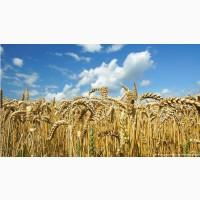 Продам посевной материал озимой пшеницы Гром элита