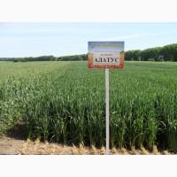 Пшениця яра Алатус насіння 1 репродукція