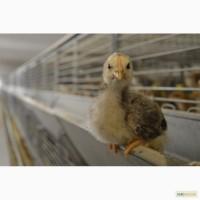 Продам молодняк курчат, несушка.