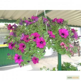 Продам цветы Сульфиния, Киев Оболонь