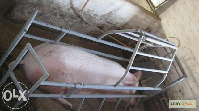 Как сделать станок для свиноматки - Технологические параметры содержания свиней