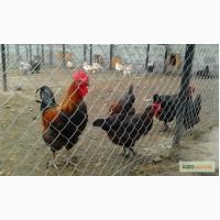 Продажа инкубационных яиц кур породы Маран