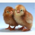 Цыплята Фокси-чик. Опт.Розница