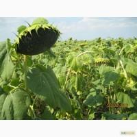 Насіння гібриду соняшнику Торнадо, Штрубе (Strube) - найвища врожайність 2016
