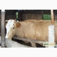 Продам корову + телку и теленка