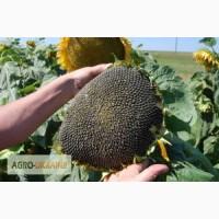 Посевной материал Подсолнечник Соняшник Ян Высокоурожайный