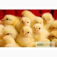 Продаем оптом суточных цыплят бройлера КОББ-500