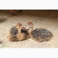 Продам птецов африканского черного страуса