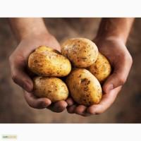 ТОВ Компания УкрТор оптом реализовывает качественный картофель, в наличии 8 сортов