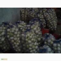 Срочно продаю репчатый лук и очищенный лук