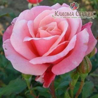 Саженцы роз сорт Роза Marco (Марко)