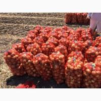 Продам лук, сорт Медуза F1 оптом с поля и склада
