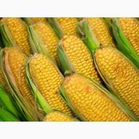 Производим оптовые закупки кукурузы фуражной