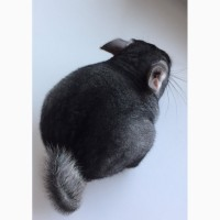 Шиншилла Chinchilla