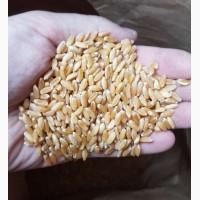 Продам семена пшеницы CHICAGO-трансгенный канадский сорт