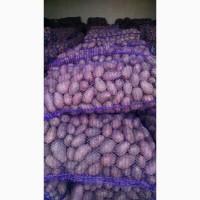 Продам насіневу картоплю сорт Ред леді