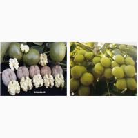 Саженцы грецкого ореха из Сербии сорта Чендлер (Чандлер), Фернор, Фернет, Франкет