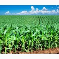 Насіння кукурудзи Канадский трансгенный гибрид кукурузы SEDONA BT 166 ФАО 180