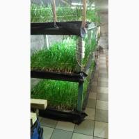 Екологічночиста зелена цибуля Лук Перо
