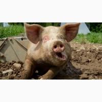 Продам відгодованих свиней кількість голів 16
